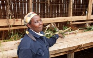 Coopérative caprine Kite (Kenya) Mbuzi project